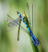 Common Blue up-close. by quaddie