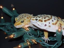 Have a holly, jolly gecko Christmas 7 by fuzzybuttbunny