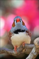 Zebra finch. by Evey-Eyes