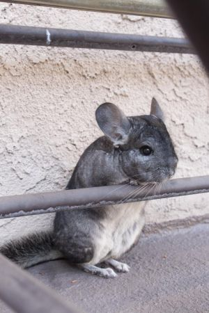 Chinchilla by zabooland