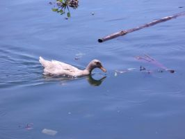 Duck by Insan-Stock