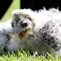 Owl Chick 03 by s-kmp