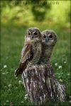 Tawny Owls by Alannah-Hawker