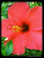 Hot Pink Hibiscus by amandaWAY