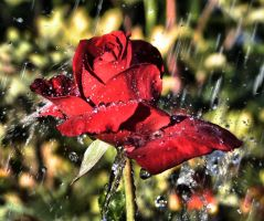 Red Rained on rose by Moosepickles