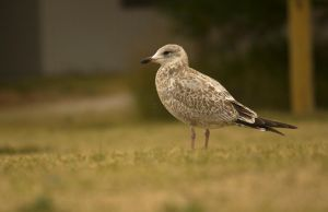 Young Ring-billed Seagull August - 2014 - 19 - 1 by toshema