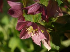 Lenten Rose Stock 13 by botanystock