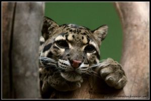 Clouded leopard by AF--Photography