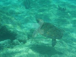 TME Akumal, Mexico: Green Sea Turtle by Namyr