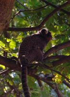 Common Marmoset by markeverard