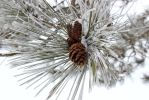 Frosted Pine by Lyrak