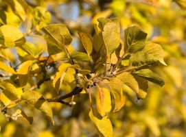 autumn apple leaves by muffet1