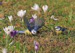 Playing in the crocus field by plumita1