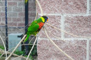Zoo 8 Rainbow Lorikeet by PirateLotus-Stock