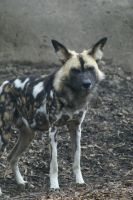 African Wild Dog 007 by MonsterBrand-stock