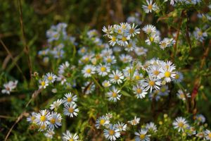 Daisies by GlassHouse-1