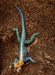 Common Agama by Track-Maidens