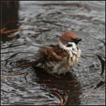 Eurasian Tree Sparrow by realny