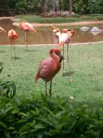 Zoo: Flamingo by Teh-Mongoose-Ninja