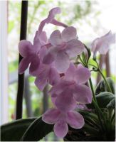 Light lilac Streptocarpus by Kattvinge