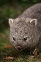 Baby Wombat by analogital