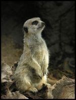 Meerkat 1 by Dominion-Photography