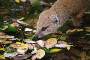 Yellow Mongoose 2 by Sabbie89
