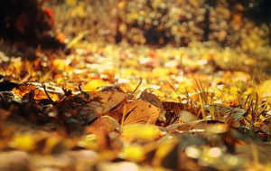 Golden Leaves by Amiltarea