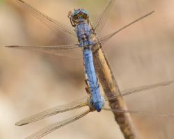 Dassia dragonfly August 2014 8 1 by melrissbrook