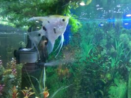 Fish eating inside the tank by leonelmail
