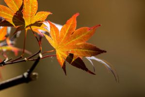 Orange Leafs by GeorgeAmies