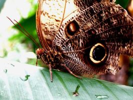 Owl butterfly by gingersnap16