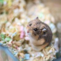 Lemmiwinks the Dwarf Hamster by ShelleyVPhoto