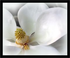 The scent of magnolia by kingtut