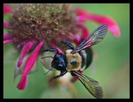 Bumble Bee by lamsquaw