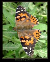 Painted Lady IV 9891 by Eolhin
