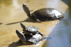Majorelle Turtles by syrus