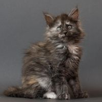 Maine coon kitten Chena by ropo-art