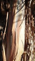 Eucalyptus 2 by snoogaloo