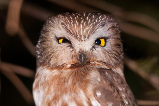 Northern Saw-whet Owl - 3 by mpapke