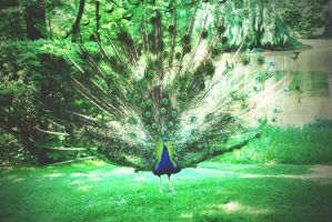 Peacock. by iamoutofdate