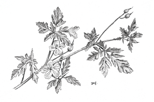 Herb Robert for Day 14 of Inktober by Wenchkin