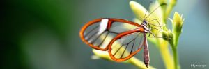 Papillon Tranparence d'Ailes by hyneige