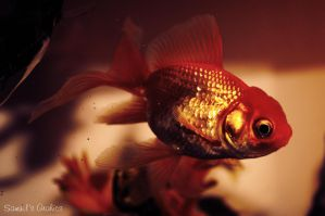 Fish by Samuels-Graphics
