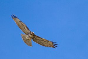 Red-tail Hawk Soaring by Elijah-Snow