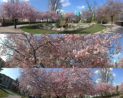 Cherry Spring by hellawaits