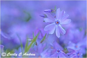 Creeping Phlox by CecilyAndreuArtwork