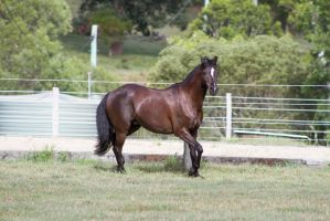 Dn black pony little trot facing camera side view by Chunga-Stock