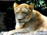 Lioness 3 by Cansounofargentina
