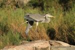 Grey Heron by parallel-pam